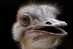 驼鸟注视入照相机 免版税库存图片