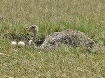 驼鸟男性是guardin他的巢 库存图片