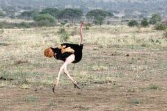 驼鸟男性赛跑 图库摄影