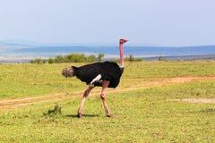 驼鸟男性-徒步旅行队肯尼亚 库存图片