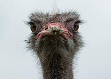 驼鸟画象在非洲大草原的 库存图片