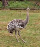 驼鸟画象有绿草背景 库存图片