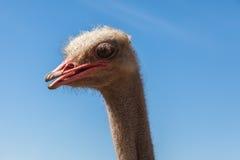 驼鸟的纵向 免版税图库摄影