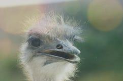 驼鸟的滑稽的画象 库存图片