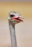 驼鸟纵向 免版税库存照片