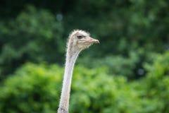 1驼鸟纵向 免版税库存图片