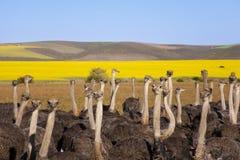 驼鸟群,南非 免版税库存图片
