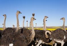 驼鸟群 免版税库存图片