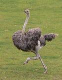 驼鸟运行中 免版税图库摄影