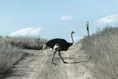 驼鸟野生生物 免版税库存图片