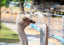 驼鸟野生生物  免版税图库摄影