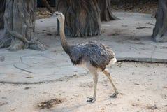 驼鸟非常亲密的朋友 免版税图库摄影