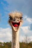 驼鸟顶头特写镜头 免版税库存照片