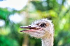 驼鸟顶头特写镜头 免版税库存图片