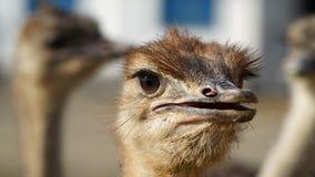 驼鸟顶头特写镜头 图库摄影