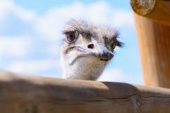 驼鸟顶头特写镜头 库存照片