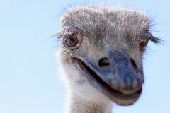 驼鸟顶头特写镜头 库存图片