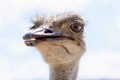 驼鸟顶头特写镜头 免版税图库摄影