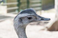 驼鸟顶头画象 库存图片