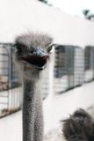 驼鸟顶头afrikanskogos黑额嘴 库存照片