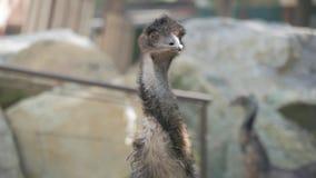 驼鸟鸟关闭的面孔 驼鸟顶头非洲鸵鸟类骆驼属的关闭 影视素材