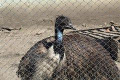 驼鸟鸟头和脖子前面画象在公园,与红色眼睛的特写镜头驼鸟和与详细的黑顶头惊人的看法 免版税库存图片