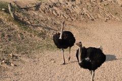 驼鸟鸟 免版税库存照片