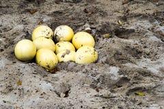 驼鸟鸡蛋 免版税图库摄影