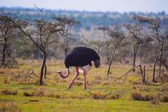 驼鸟,男性,非洲鸵鸟类骆驼属,不能飞的鸟,肯尼亚 免版税库存图片