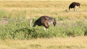 驼鸟, Amboseli公园,肯尼亚 股票录像