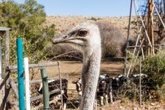 驼鸟-头和非常好奇 免版税库存图片