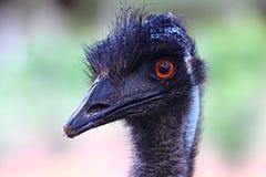 驼鸟头的细节  免版税库存图片