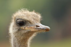 驼鸟画象非洲鸵鸟类骆驼属 库存照片