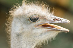 驼鸟画象 免版税库存图片