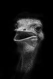 驼鸟画象  免版税库存照片