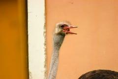驼鸟头通过窗口 免版税图库摄影