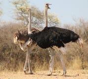 驼鸟-非洲的巨型Gamebird 2 免版税图库摄影