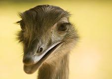 驼鸟 图库摄影
