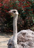 驼鸟 免版税库存图片