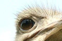 驼鸟 库存图片