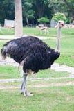 驼鸟 免版税图库摄影