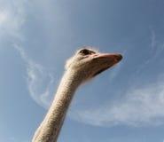 驼鸟013 免版税图库摄影