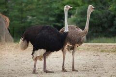 驼鸟& x28; 非洲鸵鸟类camelus& x29; 免版税库存图片