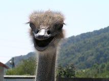 驼鸟clos的面孔在山背景  免版税库存图片