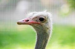 驼鸟head.he驼鸟或者公用驼鸟(非洲鸵鸟类骆驼属),是大不能飞的鸟的一两个种类当地对非洲 免版税库存照片