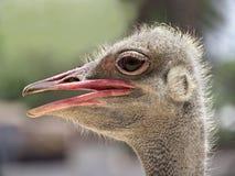 驼鸟head.he驼鸟或者公用驼鸟(非洲鸵鸟类骆驼属),是大不能飞的鸟的一两个种类当地对非洲 免版税库存图片