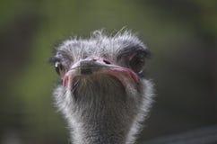驼鸟head.he驼鸟或者公用驼鸟(非洲鸵鸟类骆驼属),是大不能飞的鸟的一两个种类当地对非洲 免版税图库摄影
