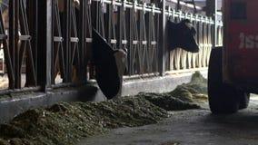 驾驶拖拉机的乳牛场场主在现代槽枥 农民与家畜一起使用 股票录像