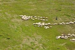 驾驶绵羊牧群的牧羊人 库存照片