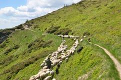 驾驶绵羊的牧羊人 免版税图库摄影